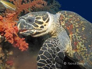 Hawksbill turtle, Echte Karettschildkröte, Eretmochelys imbricata