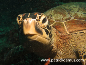 Green turtle portrait