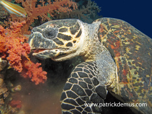 Hawksbill turtle feeding on Soft coral