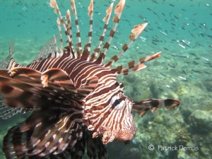 Lionfish, Rotfeuerfisch, Pterois miles