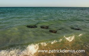 Pink whiprays in shallow water