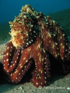 Reef octopus, Octopus cyaneus