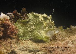 anglerfisch grün