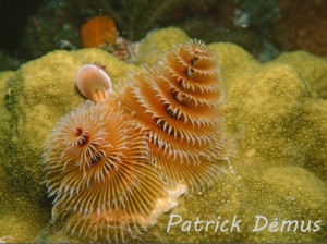 xmas tree worm (Medium)a